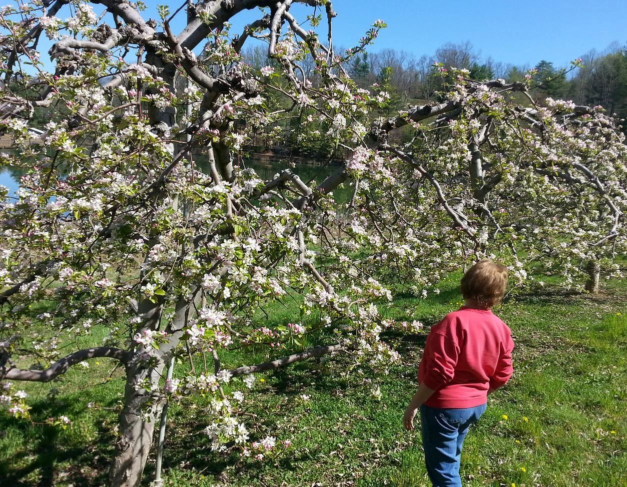 This is my wife (Jean) looking at Saylor Sunrise apple trees at the lower level of our orchard.