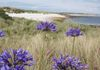 Agapanthus Blooming on Tresco, Isles of Scilly, England