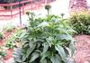 Echinacea grown by Ron