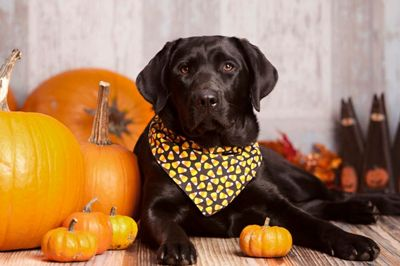Halloween, costumes, pets, dogs, cats, pet supplies, bandanas, pet costumes