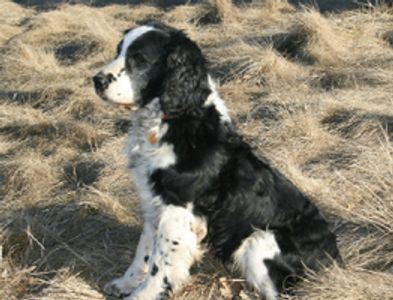Shadow was our first male springer spaniel.