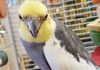 Jazz- 14 yr old male cockatiel - For more information please come in for a visit.