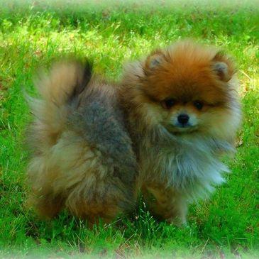 Pomeranian Puppies - Avantipoms com