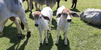 pure blooded brahman calves