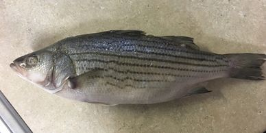 Striped bass ny seafood Asian distributor nautilus seafood G&L H&N nautilus seafood fish frozen ca