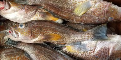 Gold spotted bass seafood Asian distributor nautilus seafood G&L H&N nautilus seafood fish frozen ca