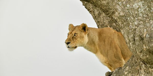 Tree climbing lions of the Serengeti - Tanzania