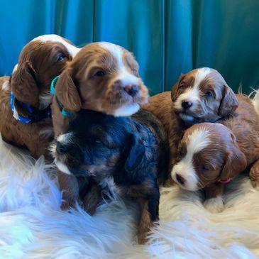 Cavapoos | Puppy's N Love