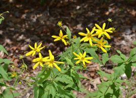 A volunteer along Sherry's driveway, this wildflower is commonly called whorled tickseed because opp