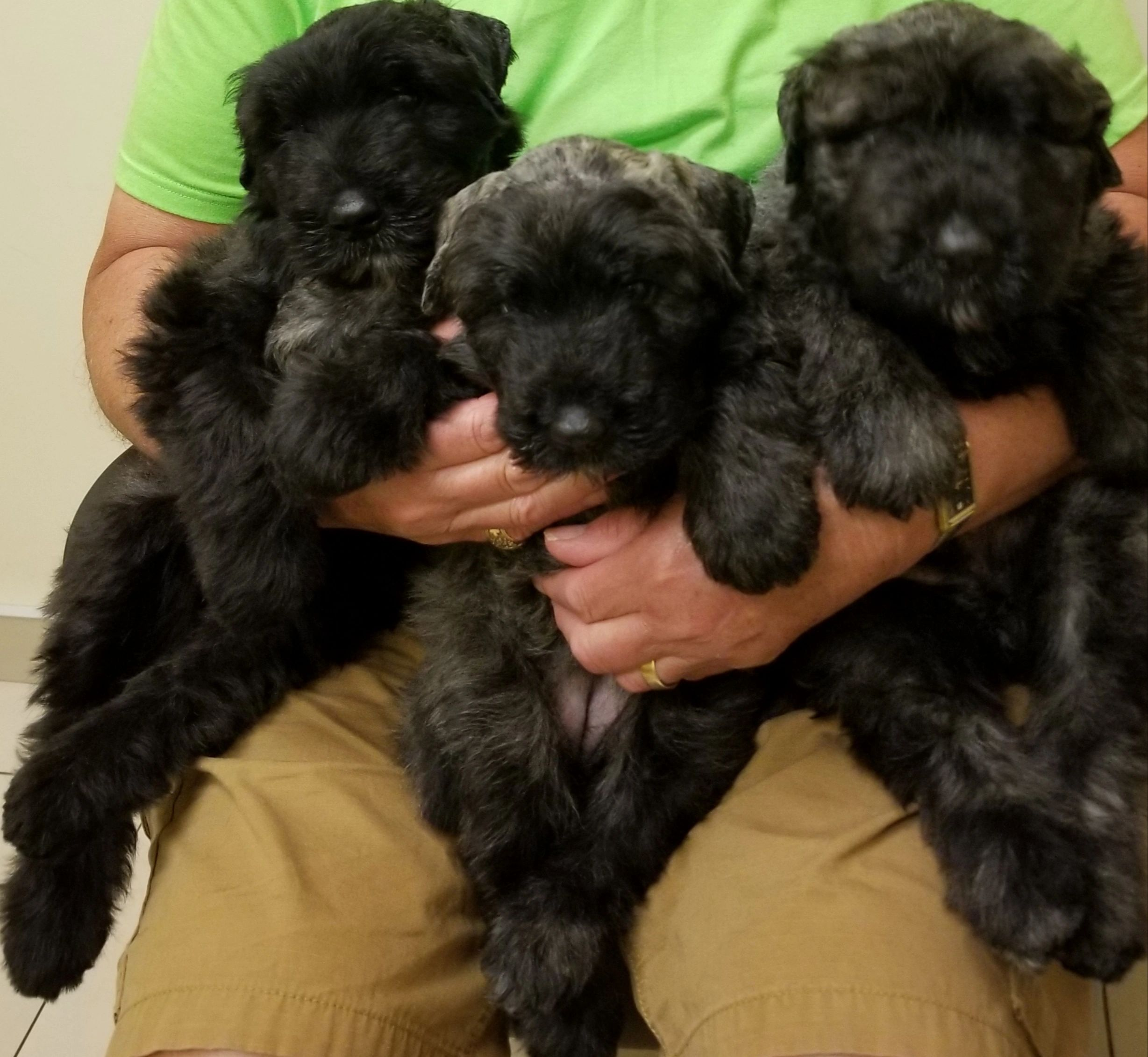 Puppys from Quality Health Tested                       Parents         Pups arrived January 8, 2020