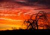 """The Burning Tree""- A burning tree with a burning sky in Tonto National Forest."