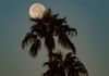 """Morning Moon Catcher"" - Palm trees appear to be catching the Hunter's Moon, as it descends towards the horizon at moonset. Phoenix, Arizona, USA"