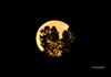 """Moon Tree Glow""- An amazing Fall Supermoon sets in the Western sky."