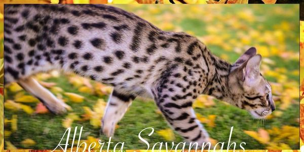 F6 Male Savannah Cat, Alberta Canada