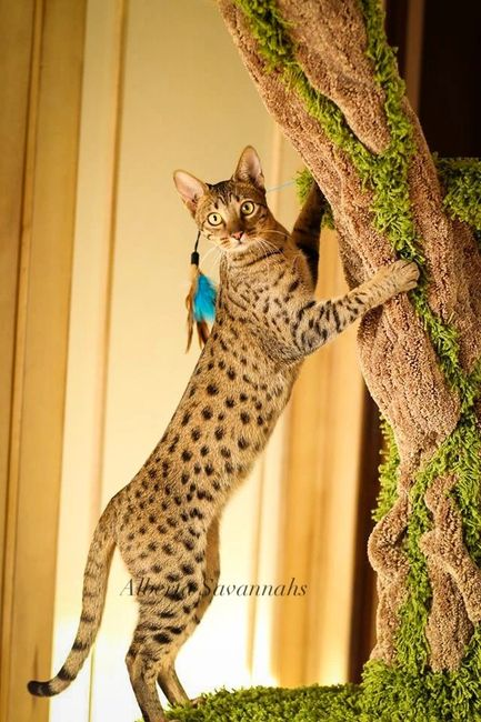 Alberta Annie Savannah cat Female Queen