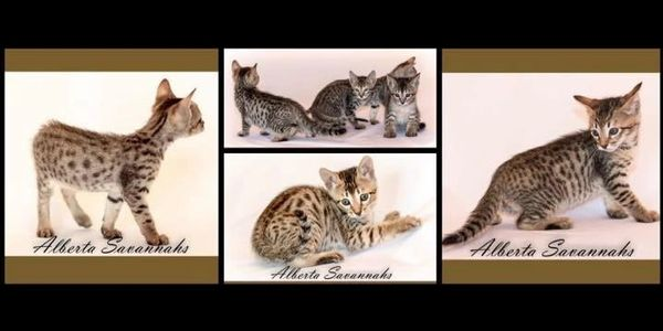 Hybrid Savannah Cat litter