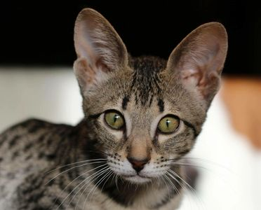 Big Eared Savannah Kitten, Alberta Savannahs