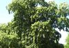 "On the tour: A European Linden, designated ""notable and significant."""