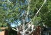 On the Impressive Tree Tour: a State Champion Paper Birch, planted by the homeowner in 1960..