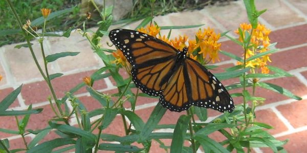 Monarch butterfly on Butterfly Weed.  Photo by A.Ambler.