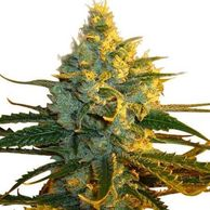 super lemon haze seeds usa super lemon haze price super lemon haze auto seeds super lemon haze CBD