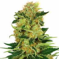 Pineapple Haze seeds feminized ilovegrowingmarijuana login ilgm beginners ilgm forum feminized seeds