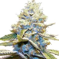 skywalker og seedfinder skywalker og price per gram kush seeds feminized purple kush for sale CBD