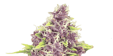 seeds vancouver who owns crop king seeds crop king seeds locations buy autoflowering seeds Marijuana