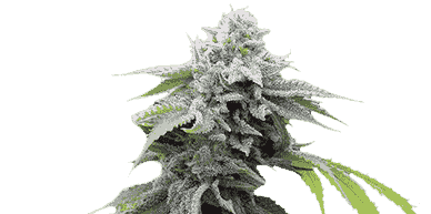 feminized seed variety pack autoflowering seeds feminized pros and cons of autoflowering seeds CBD