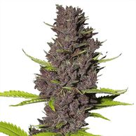 Highest thc Cannabis Seeds ILGM Ilovegrowingmarijuana