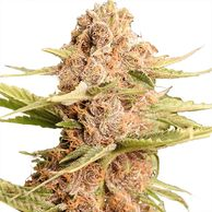 High Yielding Seeds These strains are well known for producing the highest yields ILGM