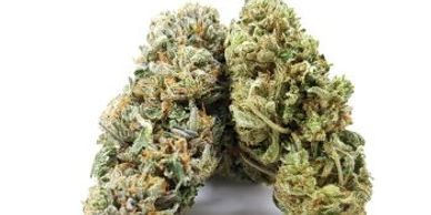 Canakush CBDHERB Blue Plus Yellow Cannabis