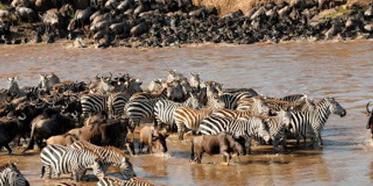 Experience the  Masai Mara Serengeti annual spectacular migration