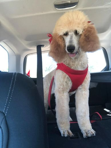 Groomed Standard Poodle Puppy, AKC registered, beautiful hair dog