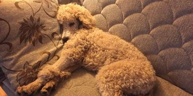 happy and healthy, best fit puppy, female, standard poodle