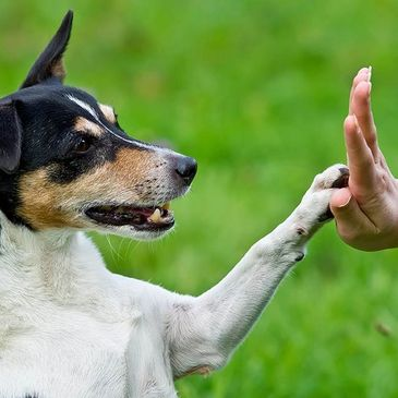 Dog giving a high five to person