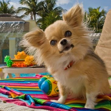 dog on vacation by the pool