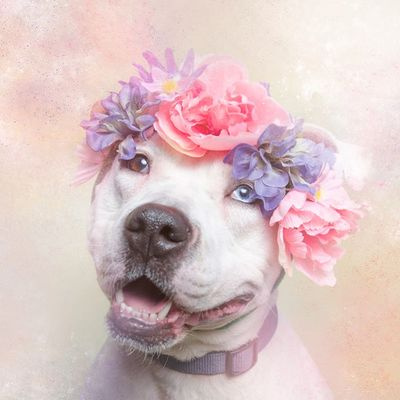 Pit bull dog with flower headband