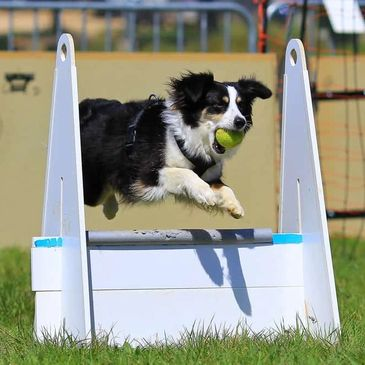 Border collie dog jumping over barrier