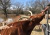 Calamity Louise - Texas Longhorn cow