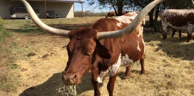 Registered Texas Longhorn cattle,longhorn cow, ranching, texas, agriculture