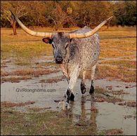 texas longhorn cow, longhorn cow, texas longhorn cattle for sale, gvrlonghorns, gvr longhorns, texas