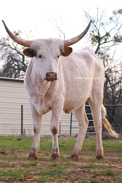 longhorn heifer for sale, longhorn heifer, gvrlonghorns, texas longhorn cattle, texas cattle, heifer