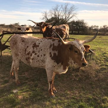 texas longhorn cow, longhorn cow, texas longhorn, longhorns,texas,livestock,cattle,ranch,rancher,cow, Texas Longhorn cow, longhorn cow, texas longhorn cattle, gvrlonghorns, registered longhorns, dallas, forth worth, stockyards