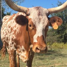texas longhorn cow, longhorn cow, texas longhorn, longhorns,texas,livestock,cattle,cow,cow for sale