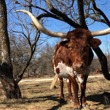 Texas longhorn cattle, longhorn cattle, longhorn cow, argriculture, livestock,ranch, farm, texas, Texas Longhorn cow, longhorn cow, texas longhorn cattle, gvrlonghorns, registered longhorns, dallas, forth worth, stockyards