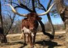 Calamity Louise- Texas Longhorn Cow
