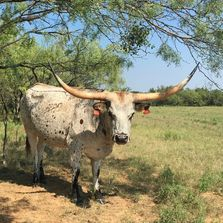 texas longhorn cow, longhorn cow, texas longhorn, longhorns,texas,livestock,cattle,ranch,rancher,cow