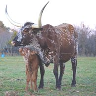 texas longhorn cow, longhorn cow, longhorn, longhorn cow for sale, gvr longhorns, gvrlonghorns,texas