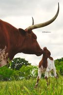 texas longhorn cow, longhorn cattle for sale, texas longhorn cow, gvrlonghorns, gvr longhorns, cow